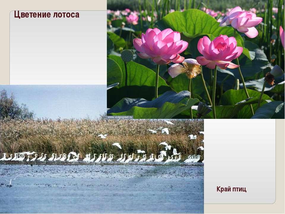 Цветение лотоса Край птиц