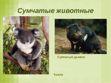 Сумчатые животные Сумчатый дьявол Коала