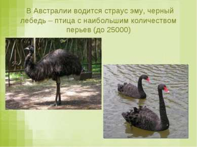 В Австралии водится страус эму, черный лебедь – птица с наибольшим количество...