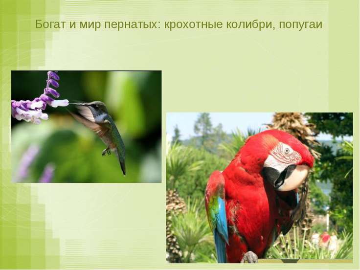 Богат и мир пернатых: крохотные колибри, попугаи