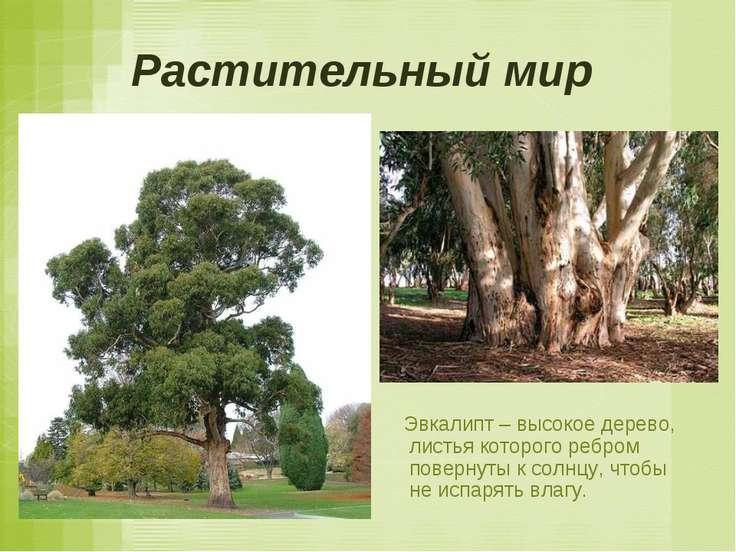 Растительный мир Эвкалипт – высокое дерево, листья которого ребром повернуты ...