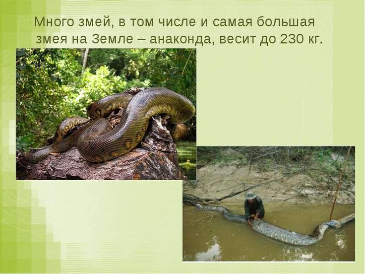 Много змей, в том числе и самая большая змея на Земле – анаконда, весит до 23...