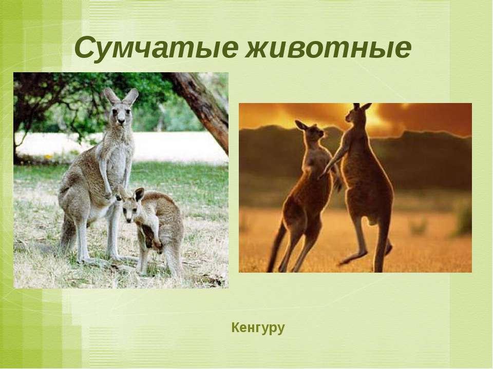 Сумчатые животные Кенгуру