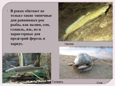 В реках обитают не только такие типичные для равнинных рек рыбы, как налим, с...