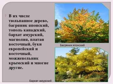 В их числе тюльпанное дерево, багряник японский, тополь канадский, бархат аму...