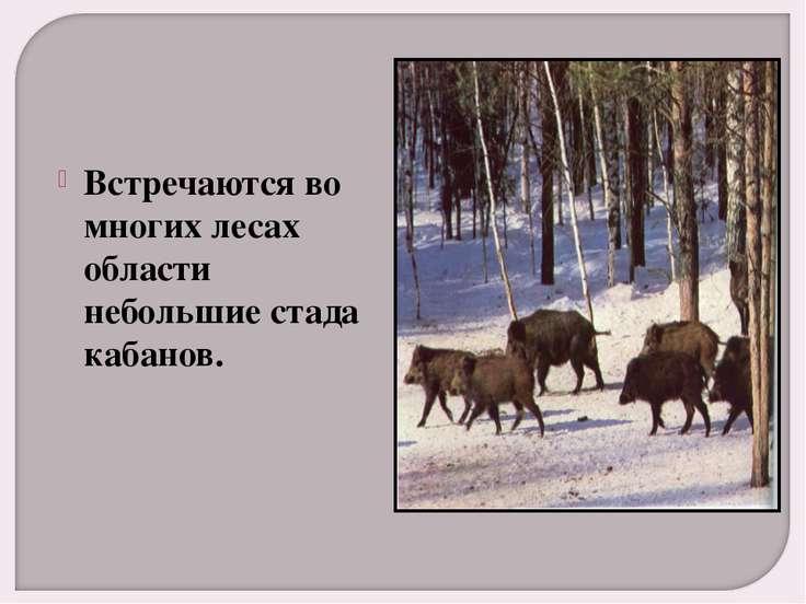 Встречаются во многих лесах области небольшие стада кабанов.