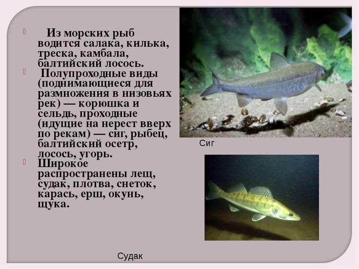 Из морских рыб водится салака, килька, треска, камбала, балтийский лосось....