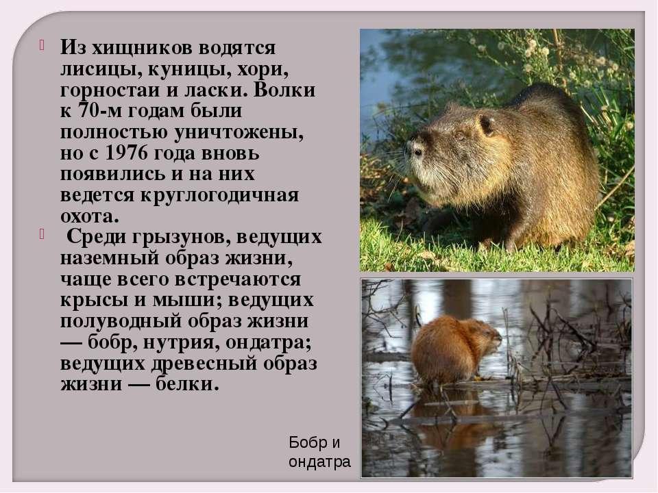 Из хищников водятся лисицы, куницы, хори, горностаи и ласки. Волки к 70-м год...