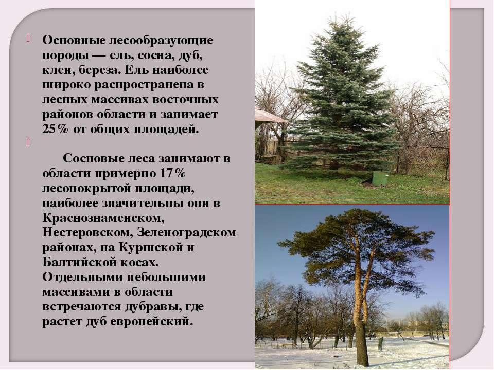 Основные лесообразующие породы — ель, сосна, дуб, клен, береза. Ель наиболее ...