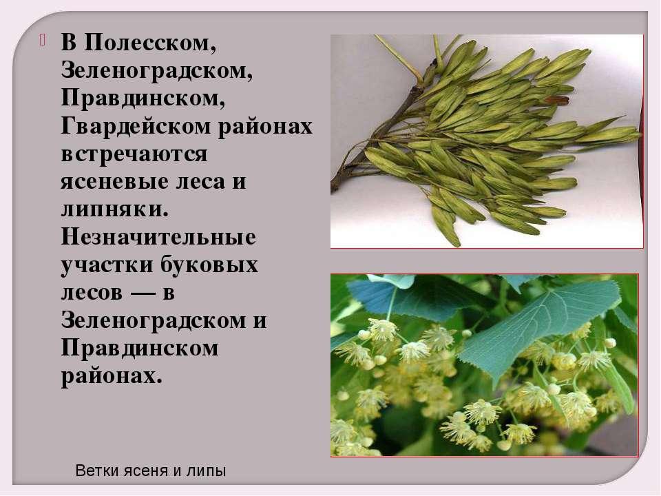 В Полесском, Зеленоградском, Правдинском, Гвардейском районах встречаются ясе...
