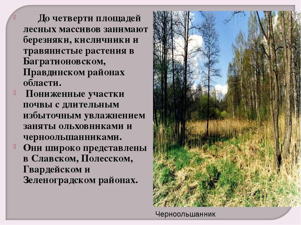 До четверти площадей лесных массивов занимают березняки, кисличники и т...