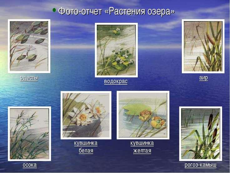 Фото-отчет «Растения озера» рдесты осока водокрас кувшинка белая кувшинка жел...