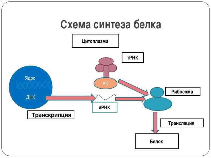 Схема синтеза белка Ядро ДНК иРНК тРНК Рибосома Цитоплазма Белок Трансляция АК