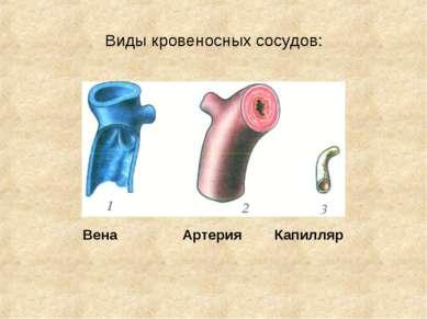 Виды кровеносных сосудов: Вена Артерия Капилляр