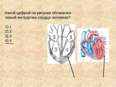 Какой цифрой на рисунке обозначен левый желудочек сердца человека? 1) 1 2) 2 ...