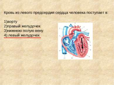 Кровь из левого предсердия сердца человека поступает в: 1)аорту 2)правый желу...