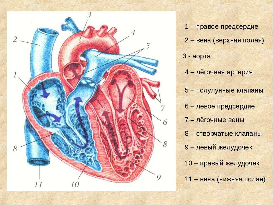 1 – правое предсердие 2 – вена (верхняя полая) 3 - аорта 4 – лёгочная артерия...