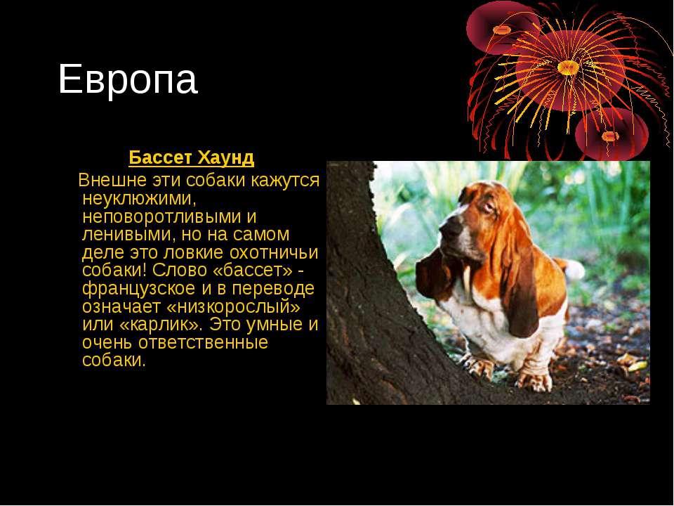 Европа Бассет Хаунд Внешне эти собаки кажутся неуклюжими, неповоротливыми и л...