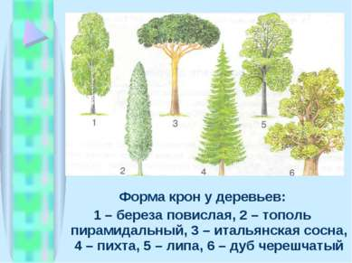 Форма крон у деревьев: 1 – береза повислая, 2 – тополь пирамидальный, 3 – ита...