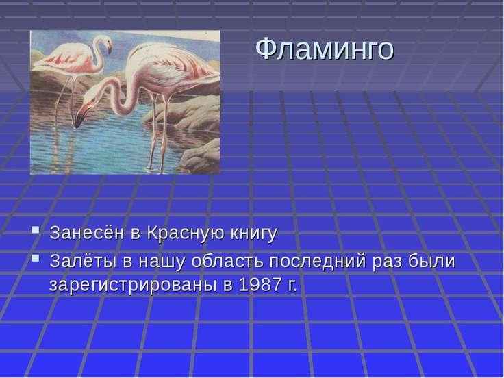 Фламинго Занесён в Красную книгу Залёты в нашу область последний раз были зар...