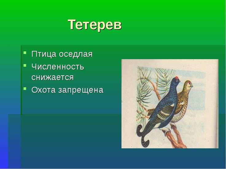 Тетерев Птица оседлая Численность снижается Охота запрещена