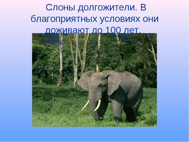 Слоны долгожители. В благоприятных условиях они доживают до 100 лет.