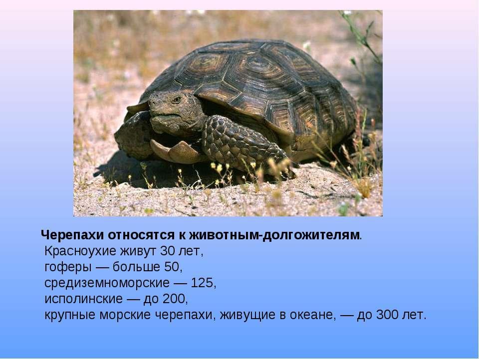 Черепахи относятся к животным-долгожителям. Красноухие живут 30 лет, гоферы —...