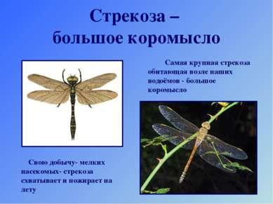 Стрекоза – большое коромысло Самая крупная стрекоза обитающая возле наших вод...