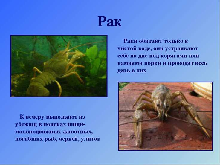 Рак Раки обитают только в чистой воде, они устраивают себе на дне под корягам...