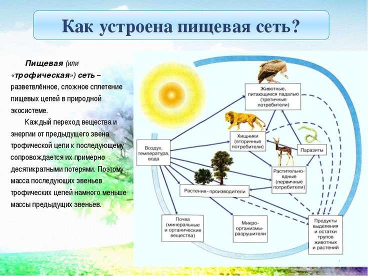 Пищевая (или «трофическая») сеть – разветвлённое, сложное сплетение пищевых ц...