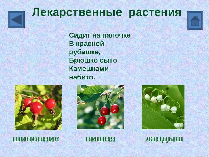 Лекарственные растения Сидит на палочке В красной рубашке, Брюшко сыто, Камеш...