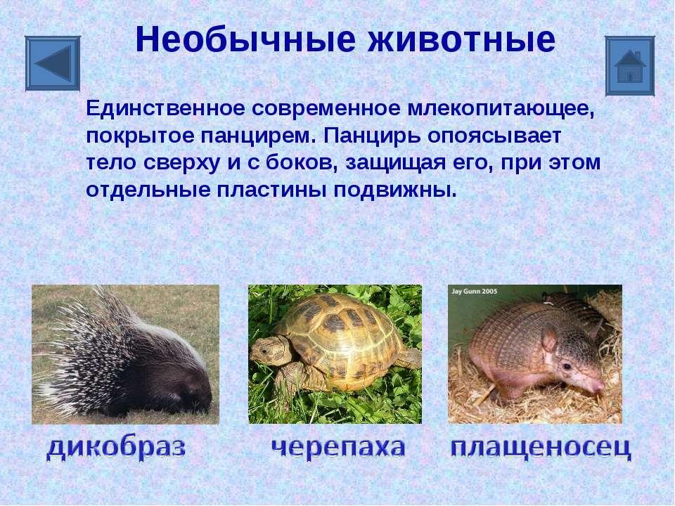 Необычные животные Единственное современное млекопитающее, покрытое панцирем....