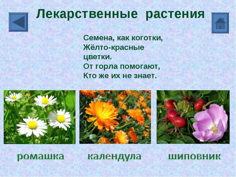 Лекарственные растения Семена, как коготки, Жёлто-красные цветки. От горла по...