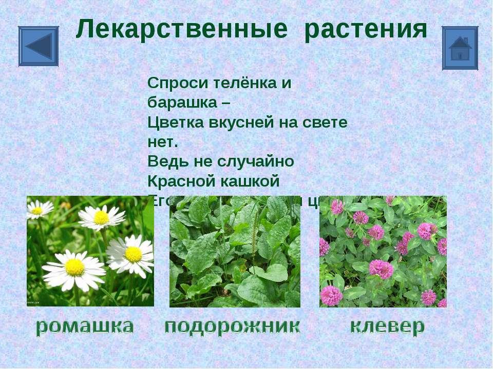 Лекарственные растения Спроси телёнка и барашка – Цветка вкусней на свете нет...