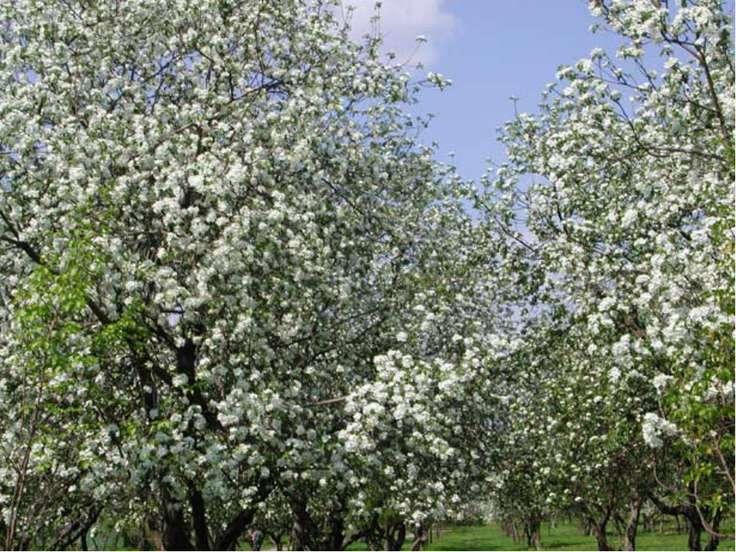 Яблоневые сады традиционно выращиваются во многих странах мира. Великолепное ...
