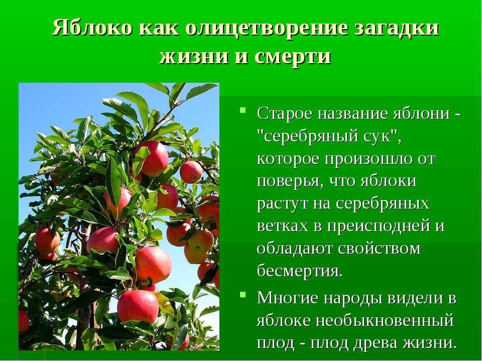 """Яблоко как олицетворение загадки жизни и смерти Старое название яблони - """"сер..."""
