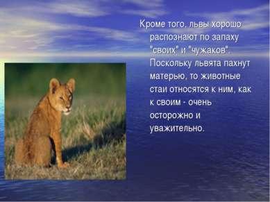 """Кроме того, львы хорошо распознают по запаху """"своих"""" и """"чужаков"""". Поскольку л..."""