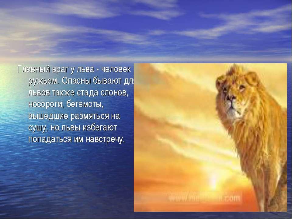Главный враг у льва - человек с ружьем. Опасны бывают для львов также стада с...