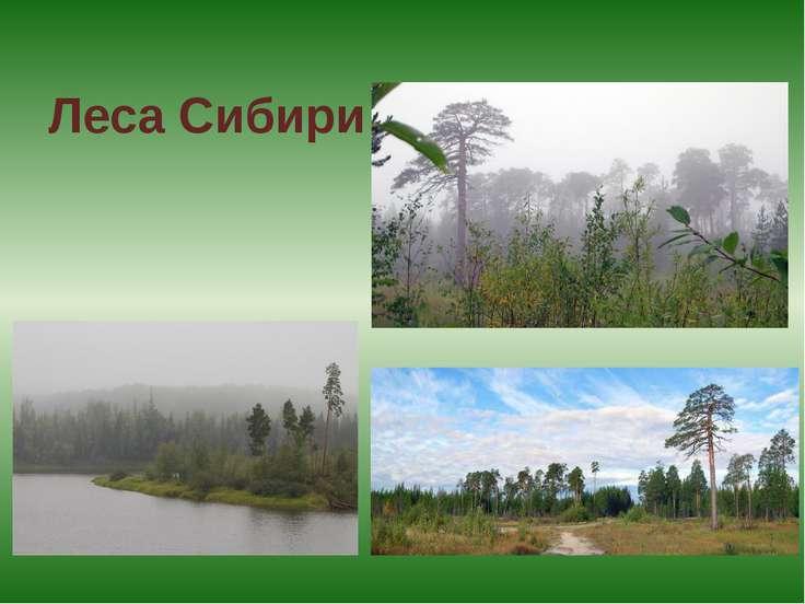 Леса Сибири