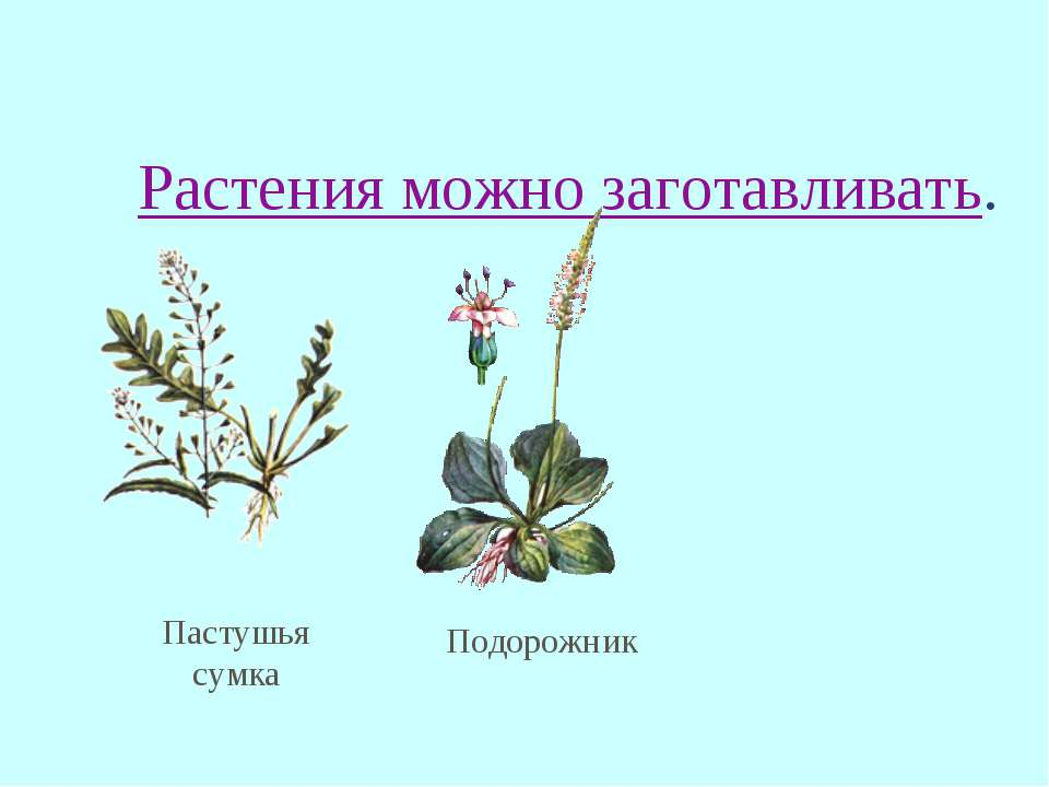 Растения можно заготавливать. Пастушья сумка Подорожник