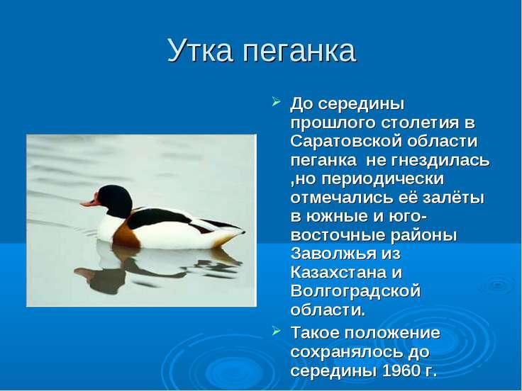 Утка пеганка До середины прошлого столетия в Саратовской области пеганка не г...
