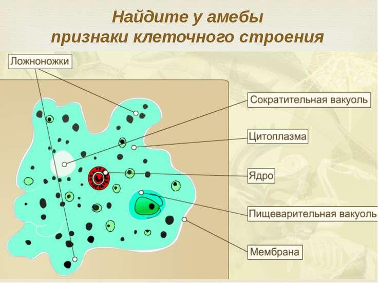 Найдите у амебы признаки клеточного строения