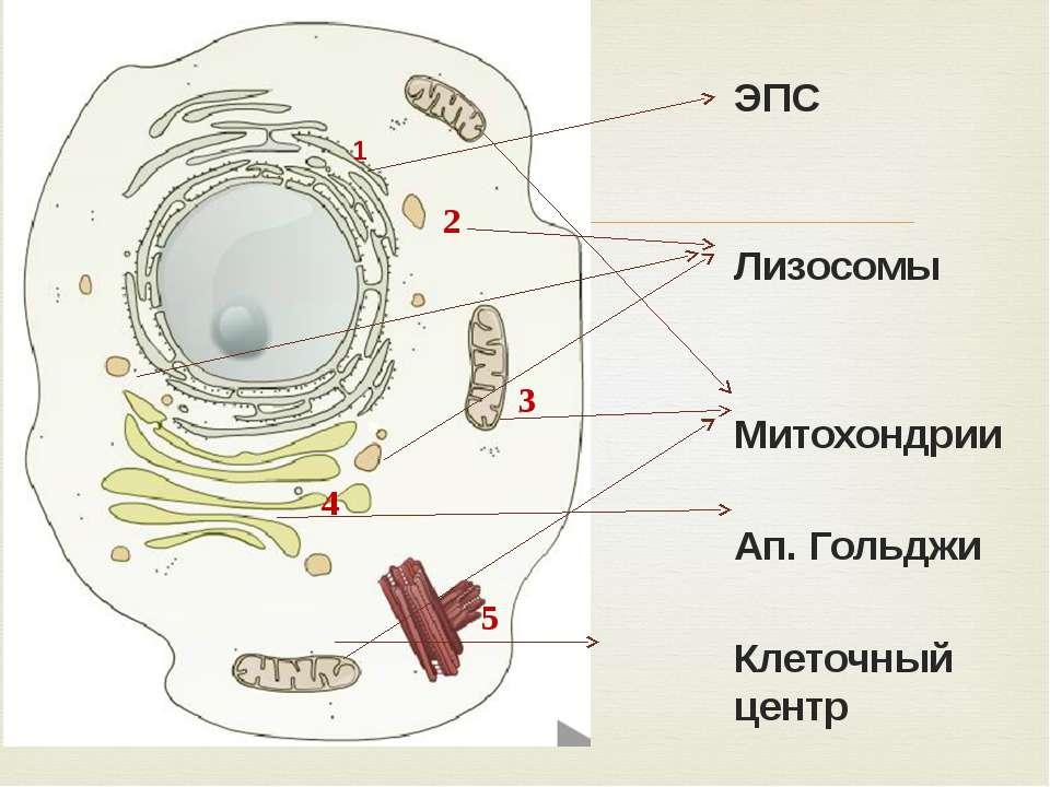 ЭПС Лизосомы Митохондрии Ап. Гольджи Клеточный центр 1 2 5 4 3