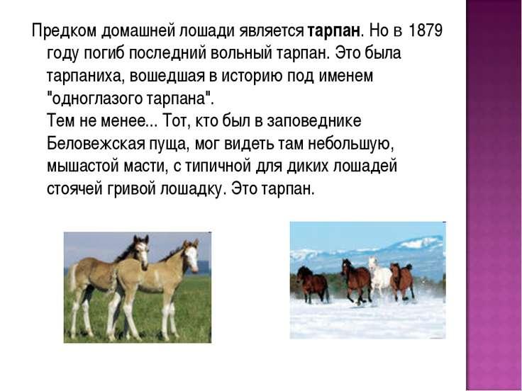 Предком домашней лошади является тарпан. Но в 1879 году погиб последний вольн...