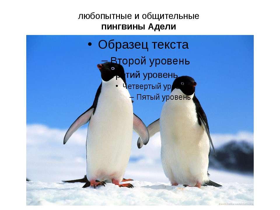 любопытные и общительные пингвины Адели