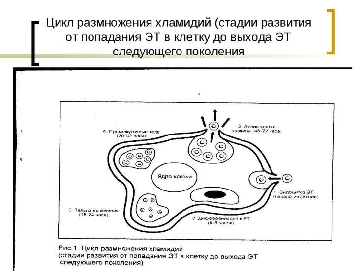 Цикл размножения хламидий (стадии развития от попадания ЭТ в клетку до выхода...