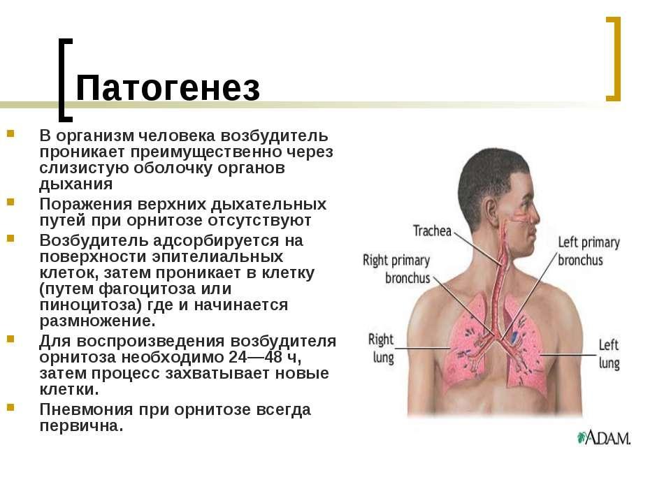 Патогенез В организм человека возбудитель проникает преимущественно через сли...