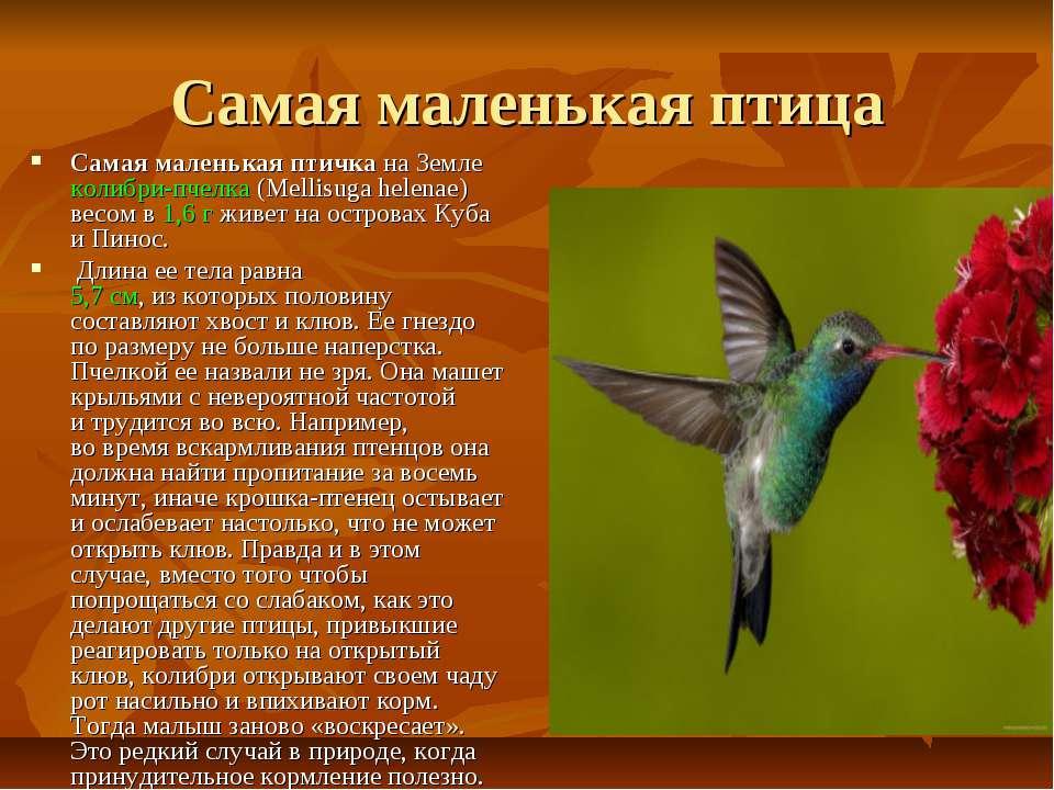 Самая маленькая птица Самая маленькая птичка наЗемле колибри-пчелка (Mellisu...