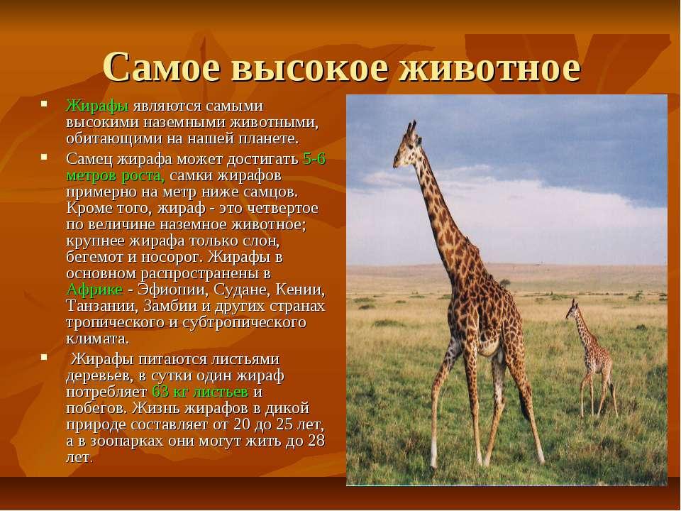 Самое высокое животное Жирафы являются самыми высокими наземными животными, о...