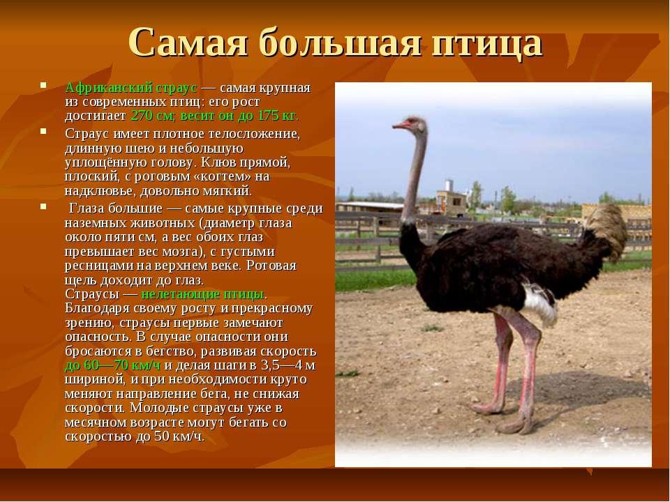Самая большая птица Африканский страус — самая крупная из современных птиц: е...
